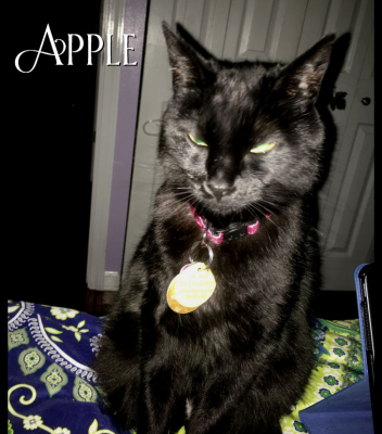 Missur Apple in his new sparkly collar