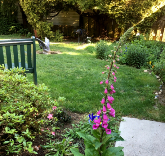 Beautiful magenta-pink foxglove in my front yard.