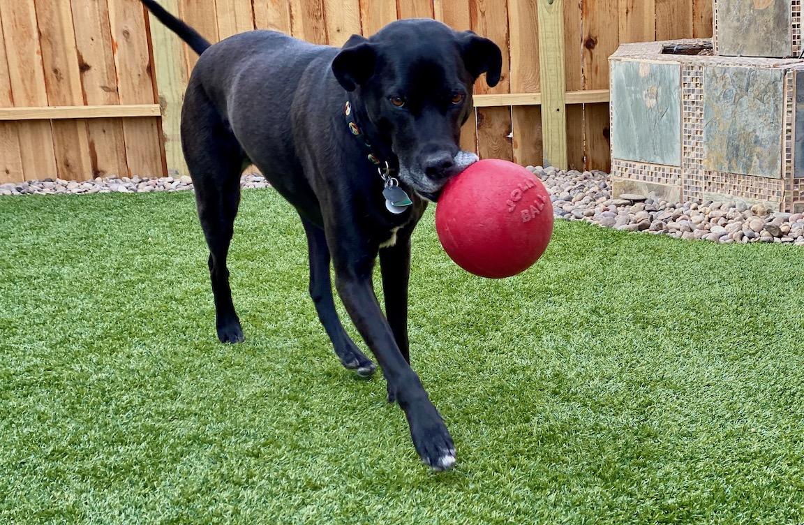 Walker-girl dog