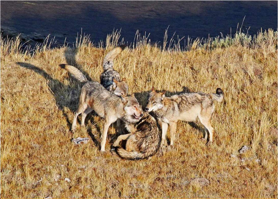 Reintroduction of Wolves to Colorado: Could This Affect Our Native Plant Communities?