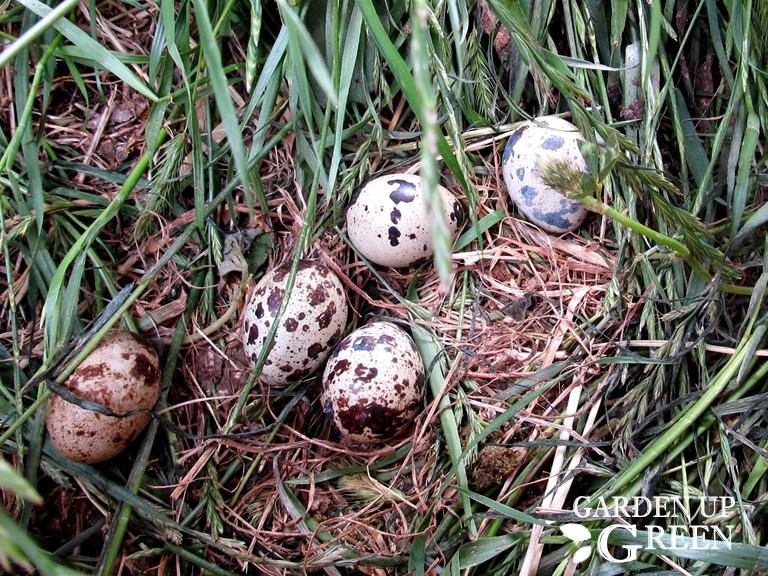 Quail Eggs in 8 Weeks