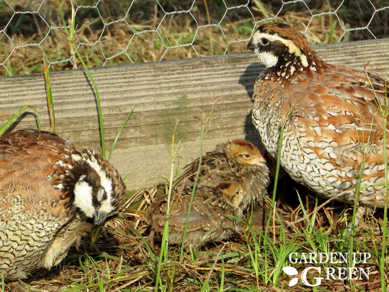 How to Hatch Bobwhite Quail in Captivity
