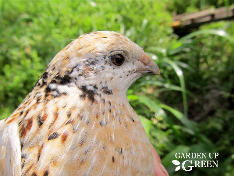 Are Quail Right for You?