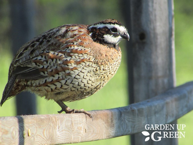 Adding Perch Positions for Bobwhite Quail
