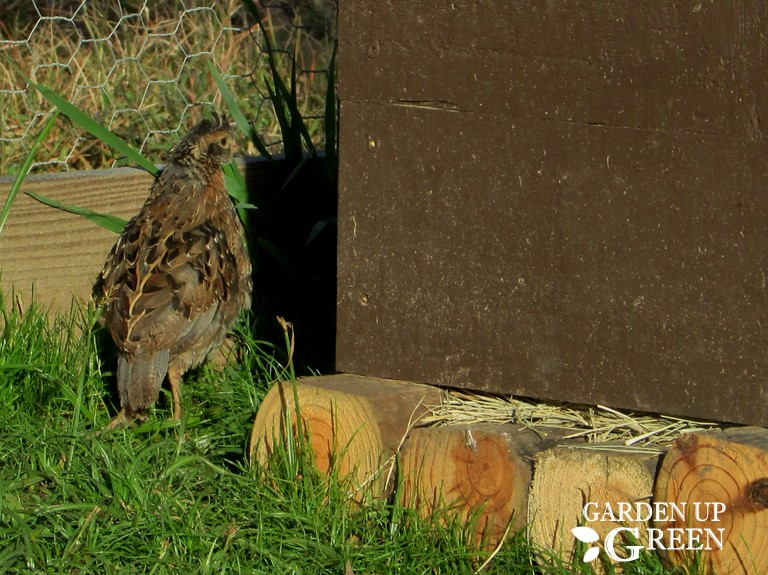 How to Protect Quail From Heavy Rainfall
