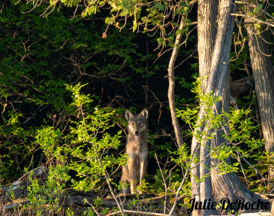 A possible Algonquin wolf sits in the timber near Temagami, Ontario