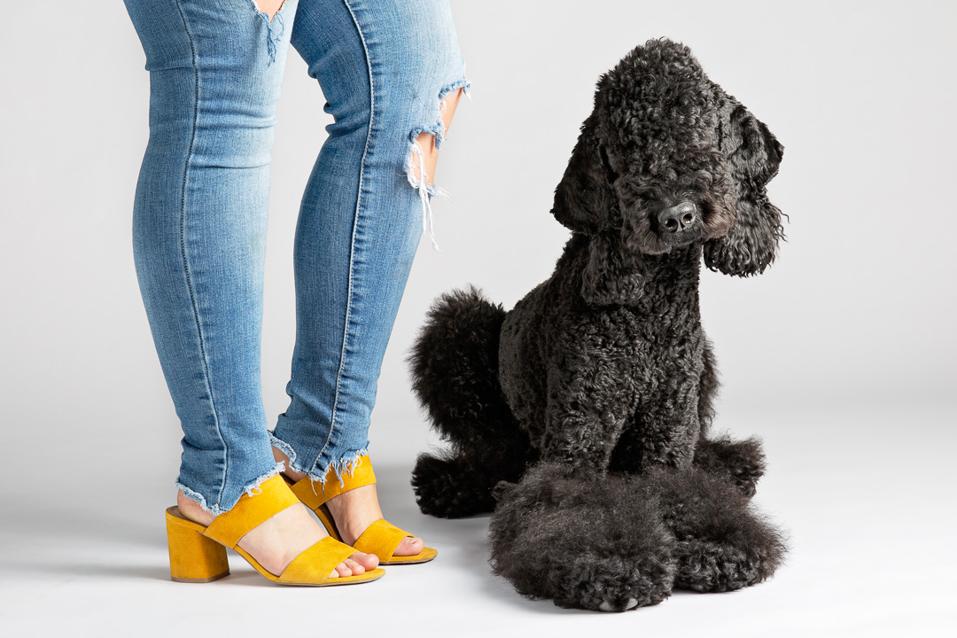Black Standard Poodle dog photography sioux falls