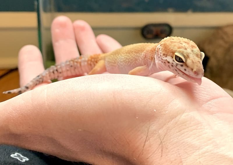 Leopard gecko in hand