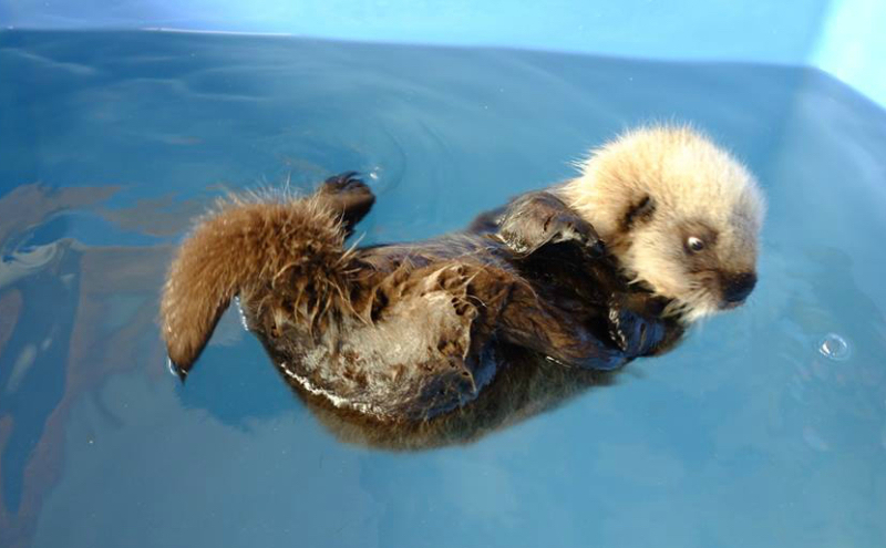 Baby otter on back in blue container of water