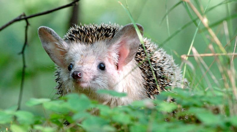 Hedgehog with long ears
