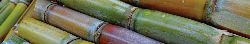 La canne à sucre au service de la peau
