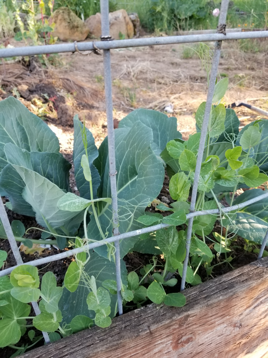 Pea pod plants grow up a trellis made from a cattle panel, while cabbage plants grow behind them.