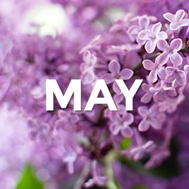 The word May in front of purple lilacs