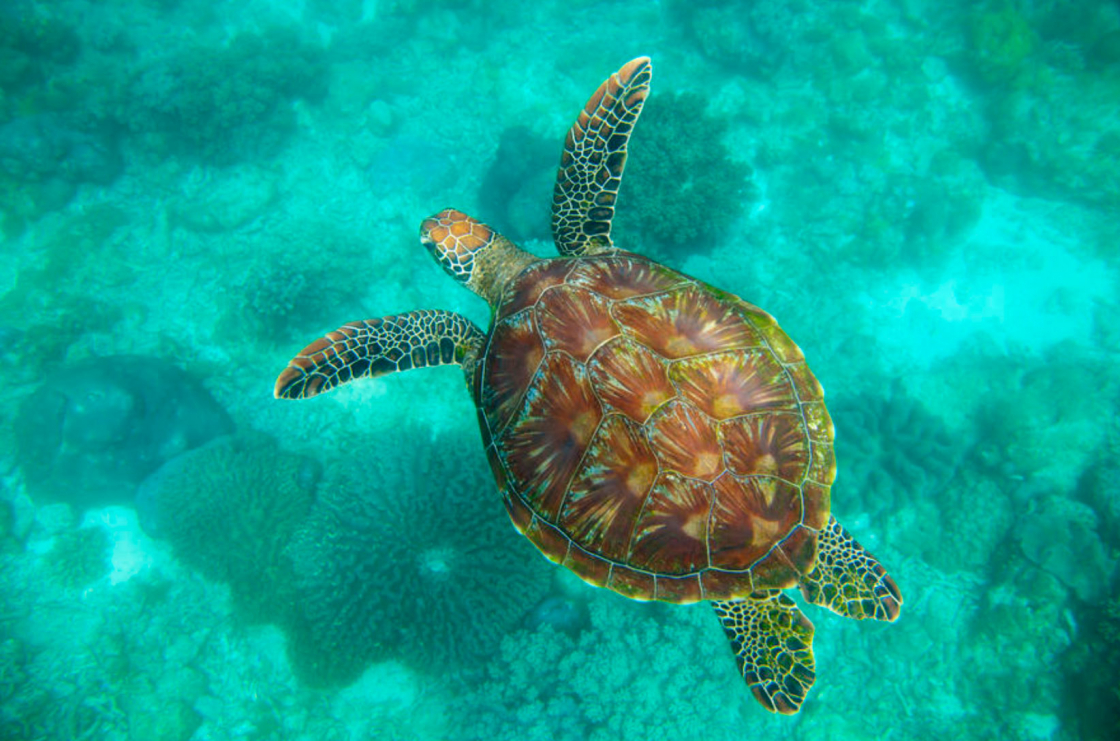 Hawksbill Sea Turtle swimming in turquoise water