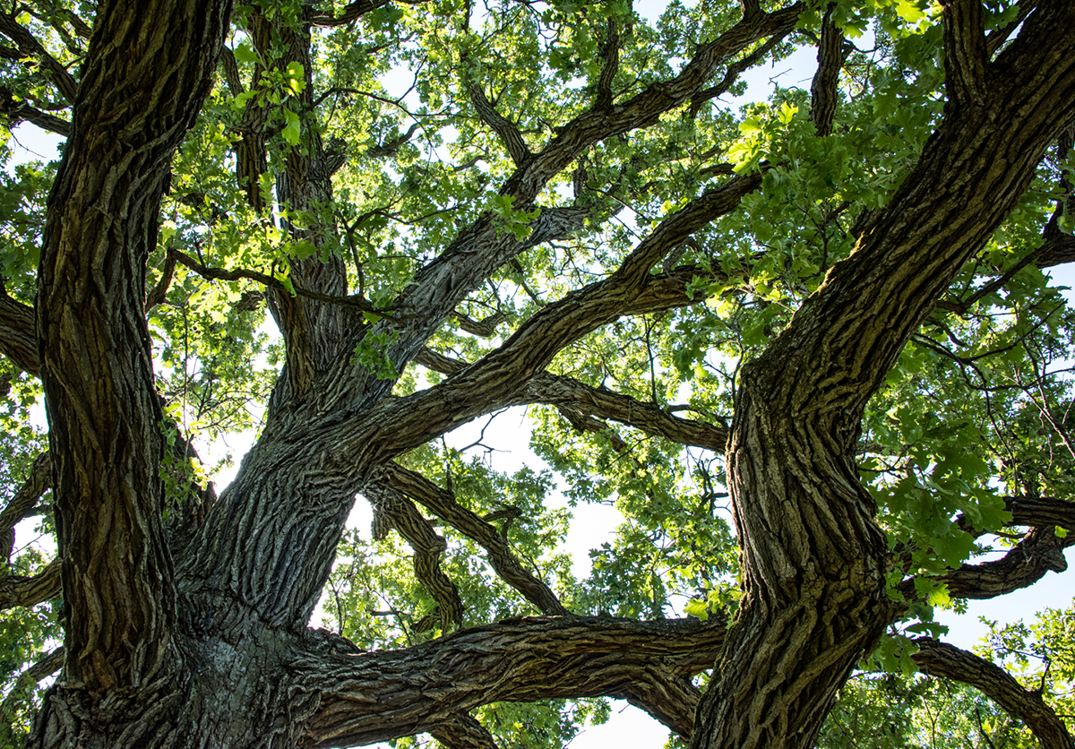 Large oak tree branches against clear sky