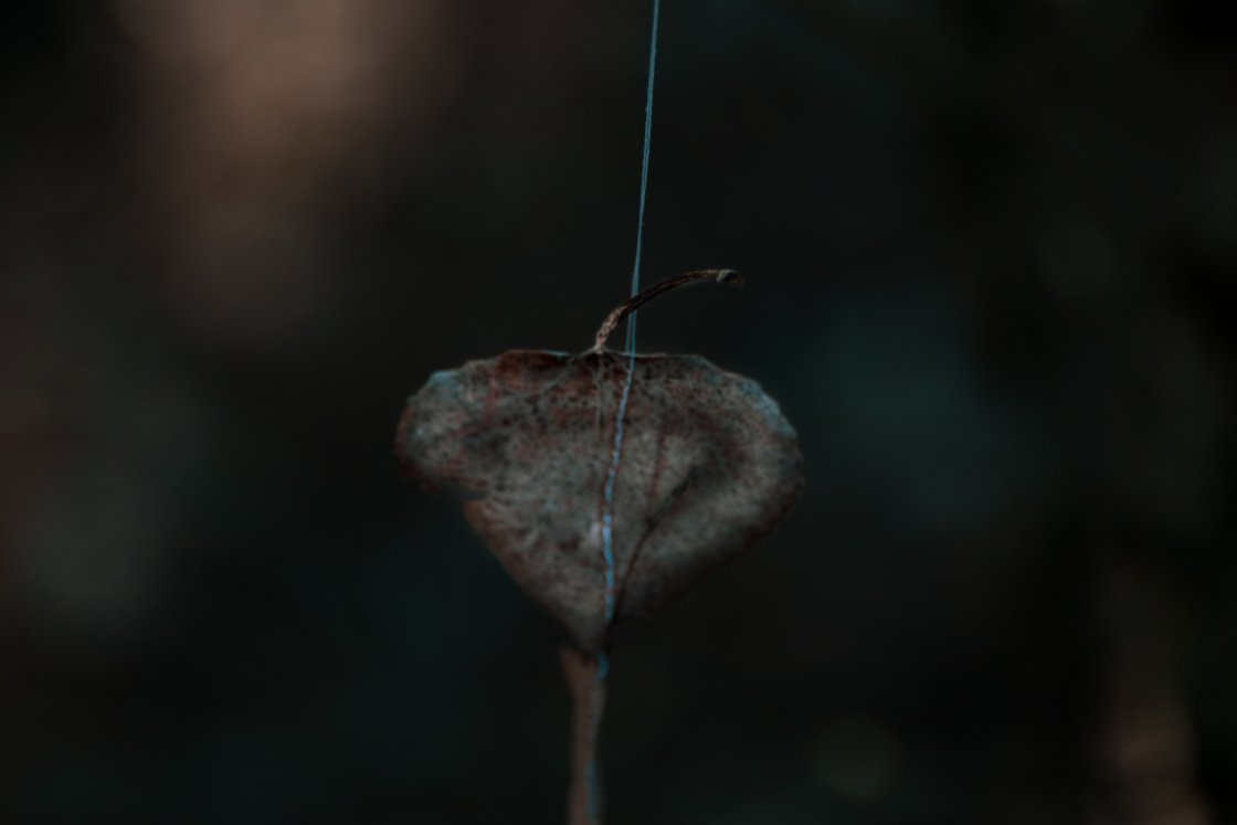 a single aspen leaf hanging from a thread