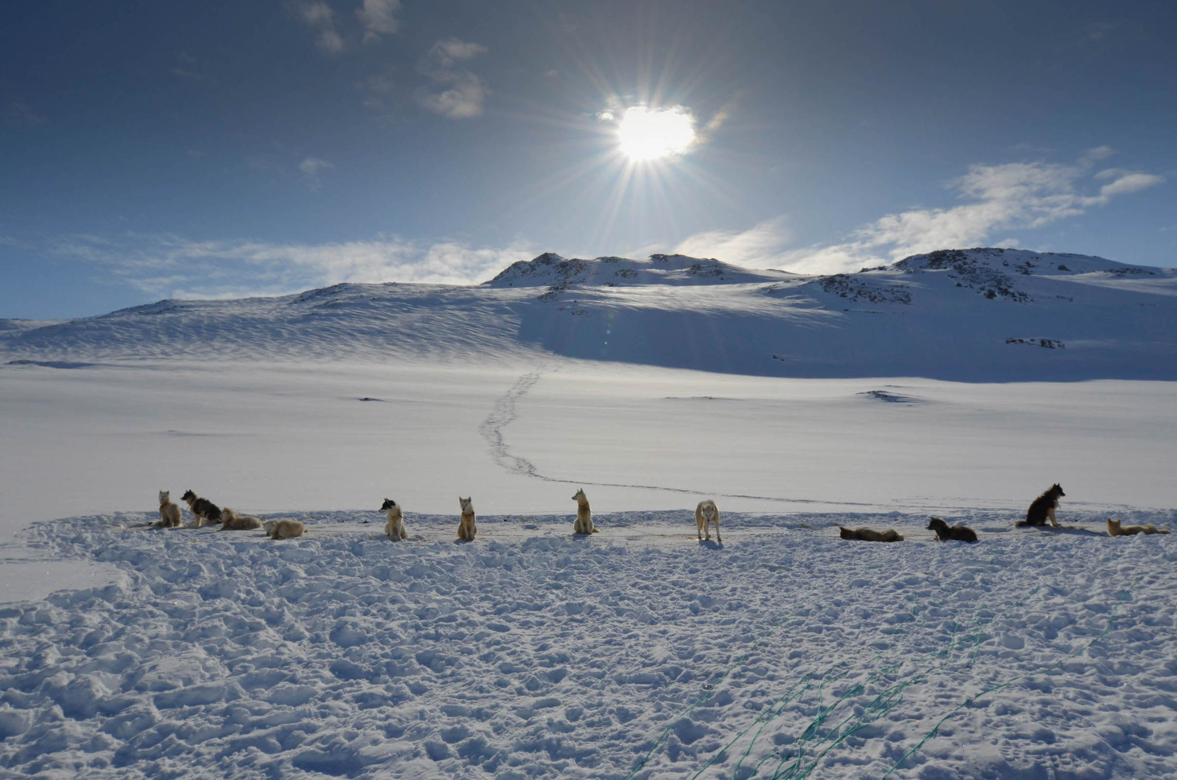 Dogs on a glacier resting from dogsled Kulusuk Greenland