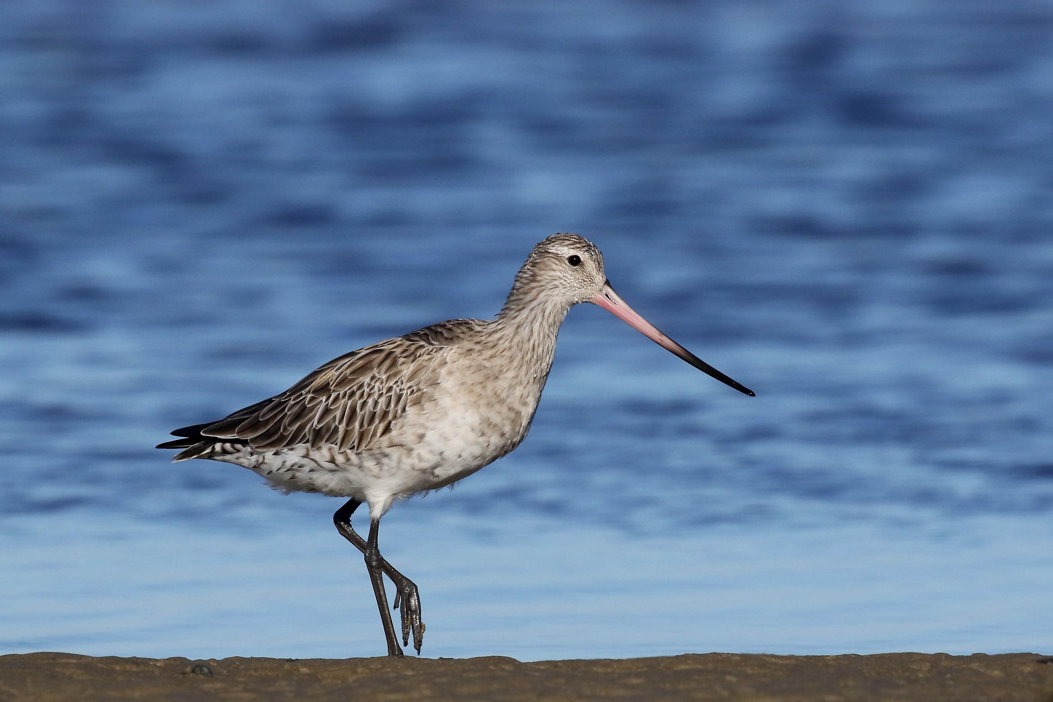 Bar-tailed Godwit by Bill Betts