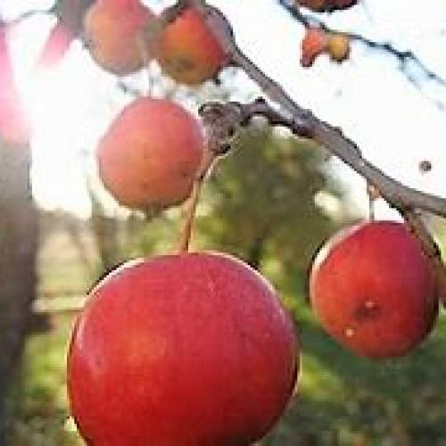 I fruktträdgården finns alla Sveriges äppelsorter
