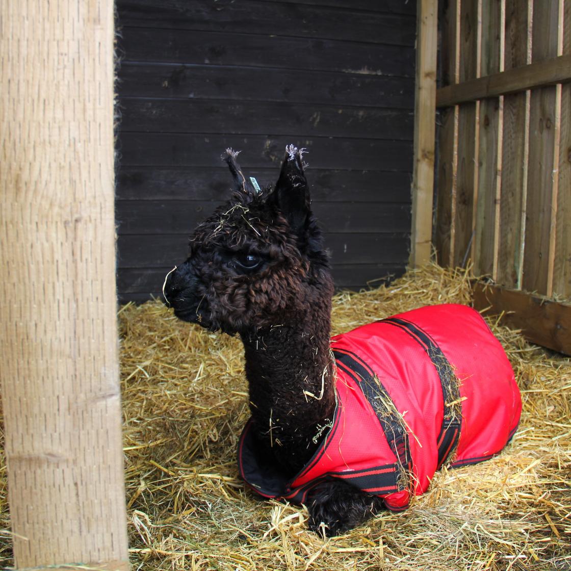 Toft Merriadoc, brown huacaya alpaca in a field shelter