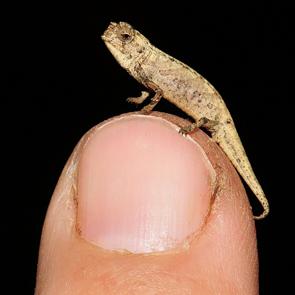 tiny chameleon on fingertip