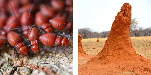 2 images of termites and mounds