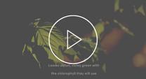 Video thumbnail of maple tree