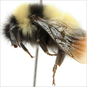 A bee on a pin