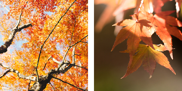 Maple tree collage