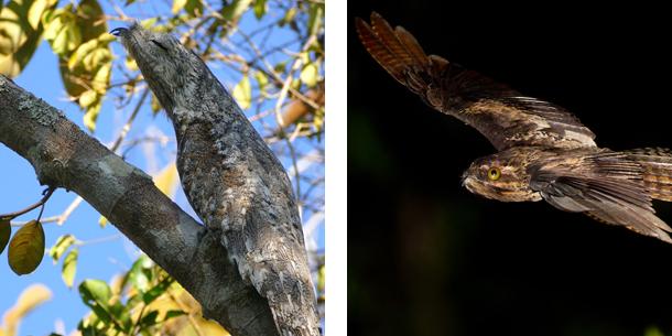Potoo Bird collage