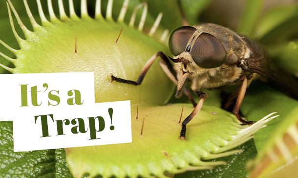 Horsefly in a venus flytrap