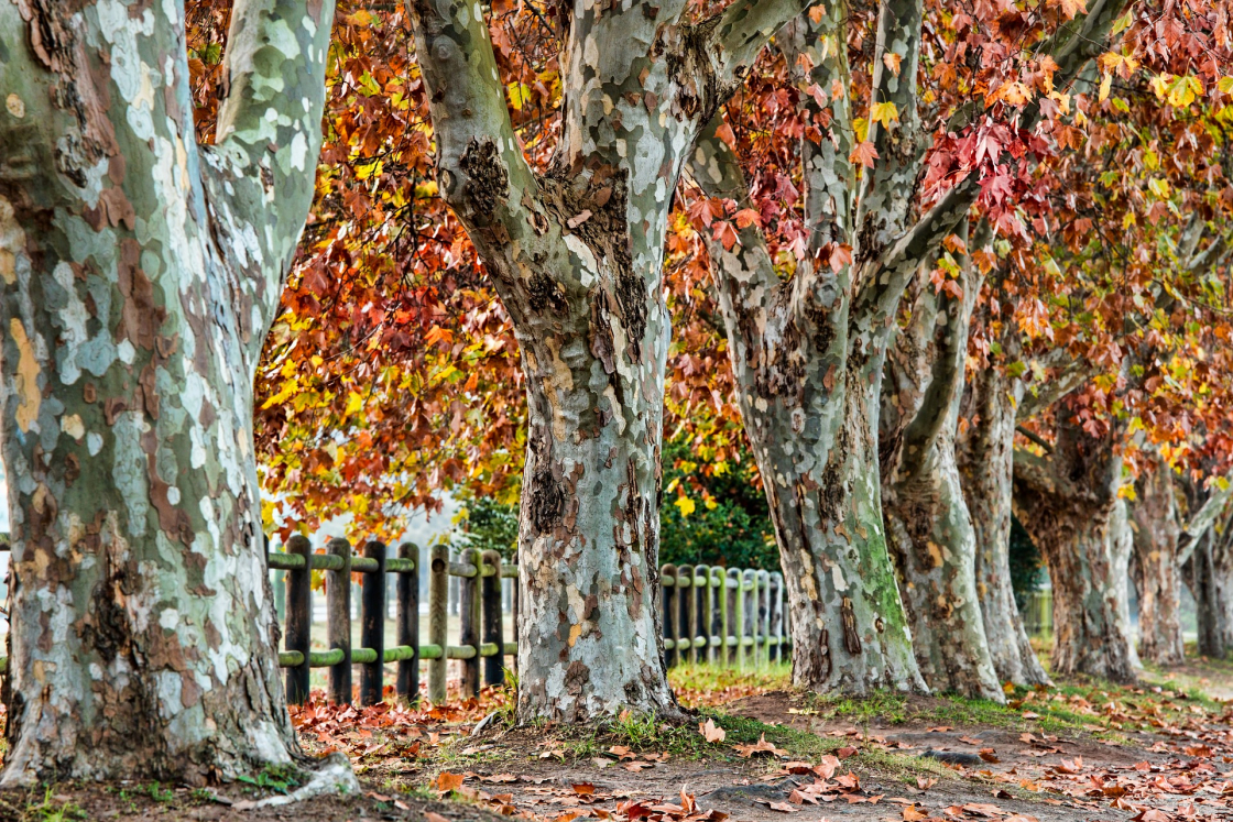 Plane trees to illustrate story