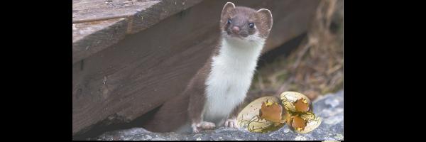 Weasel image to illustrate blog