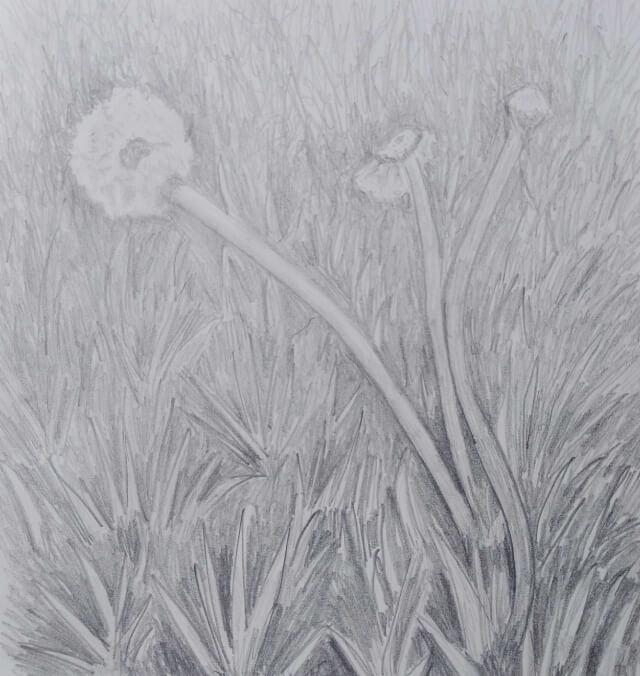 Sketch of dandelions