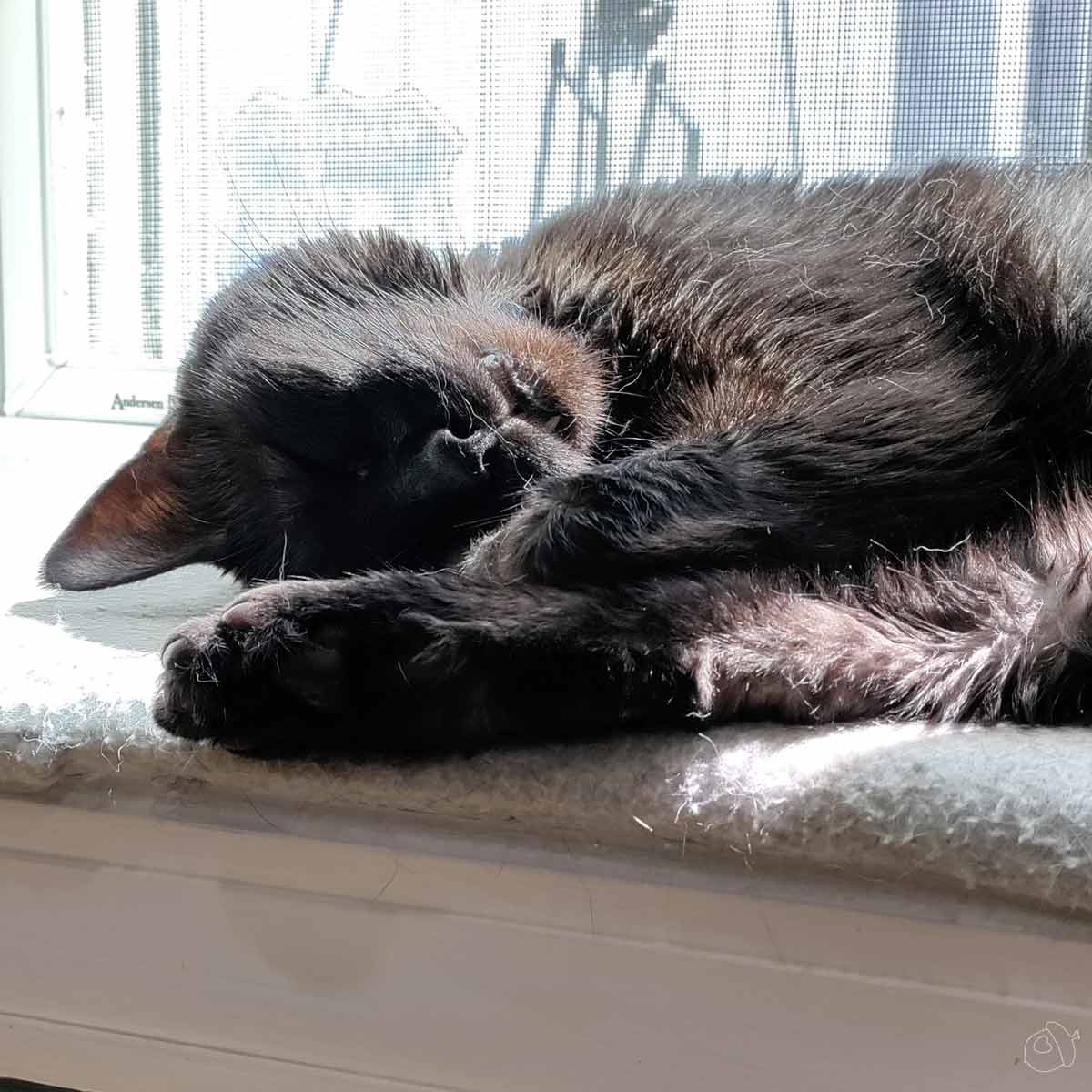 Black cat napping on a sunny windowsill. The image is cropped to show just his head, one back leg, and a front paw. One toothis sticking out as he dreams of catching chipmunks.