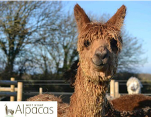 west wight alpacas isle of wight walks