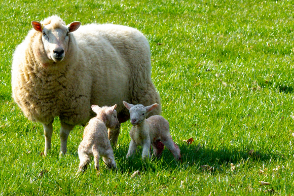 Sheep and two lambs playing