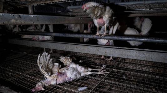 Hennen in Bio-Stall