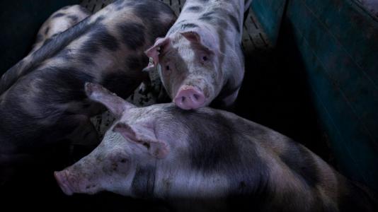 Schweine in Mastbucht