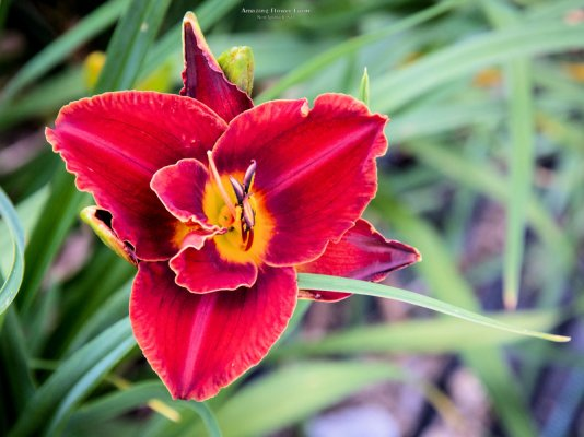 Miracle Maid daylily