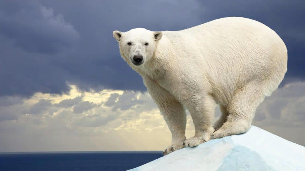 Geburtenexplosion bei Eisbären: Professorin widerlegt Klimawandel und fliegt von Uni