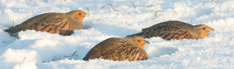Enable images to see a photo of three grey partridge