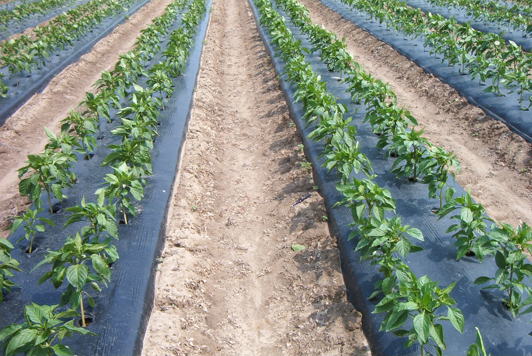 drip irrigation under plastic mulch