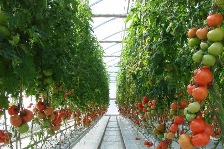 tomato farm with drip irrigation