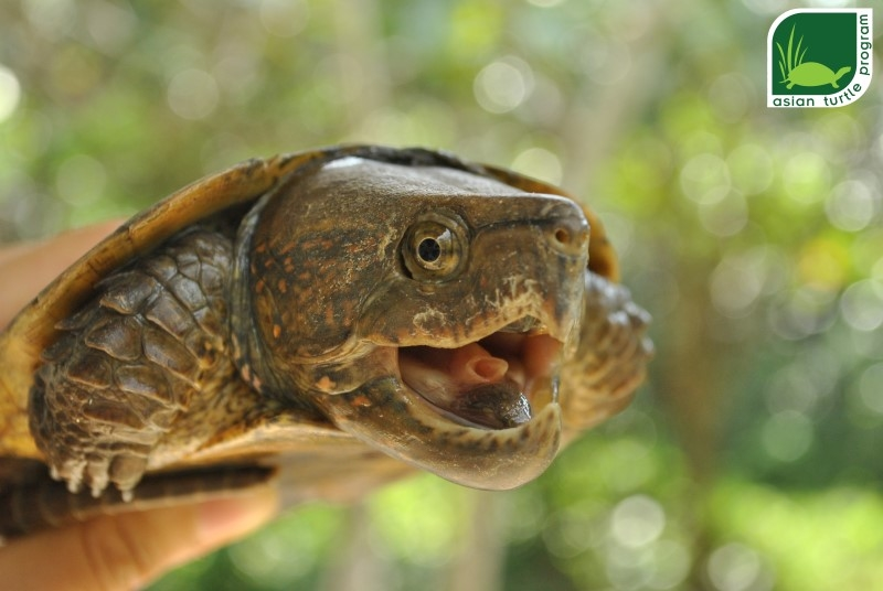A long term captivity  Giant Asian Pond Turtle (Heosemys grandis) individual is wondering around his new home. Photo by: Hoang Van Ha – ATP/IMC.